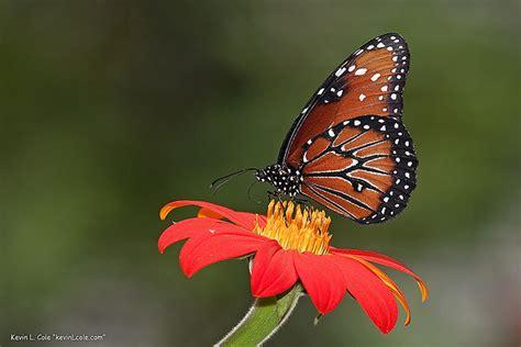 Les voyages du monarque, ce papillon mystérieux   Contrepoints