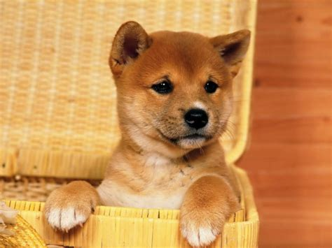 puppy mobile 50 dogs wallpapers puppy desktop wallpapers hd wallpapers images