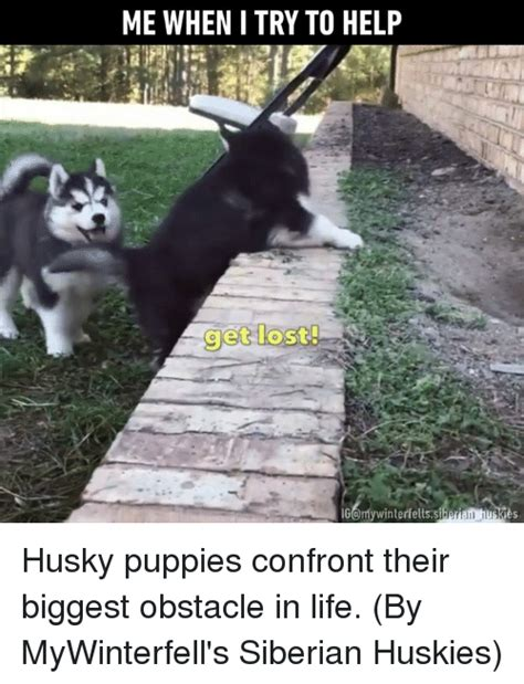 Siberian Husky Meme - 25 best memes about husky puppies husky puppies memes