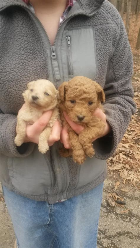 puppies for sale in peoria il poodle puppies principal illinois pictures breeds picture
