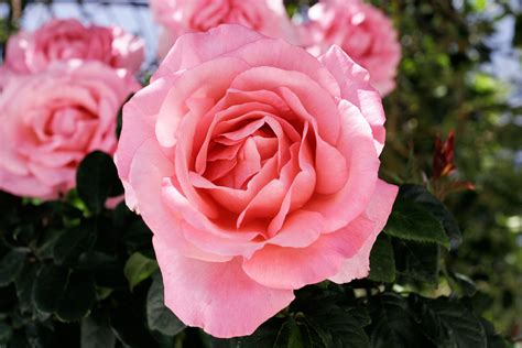 roses are pink file pink cultivar jpg wikimedia commons