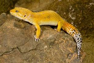 leopard gecko colors leopard gecko morphs colors of leopard geckos