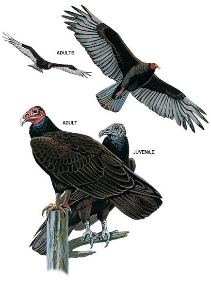 turkey vultures turkey vulture pictures turkey vulture