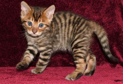 Toyger Cat | the toyger wallpapers animals library