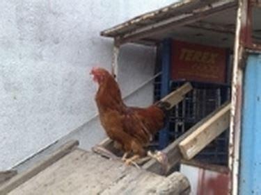 allevamento galline ovaiole in gabbia allevamento galline ovaiole galline