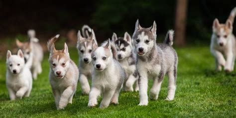 how much to feed a husky puppy husky puppies hound tog