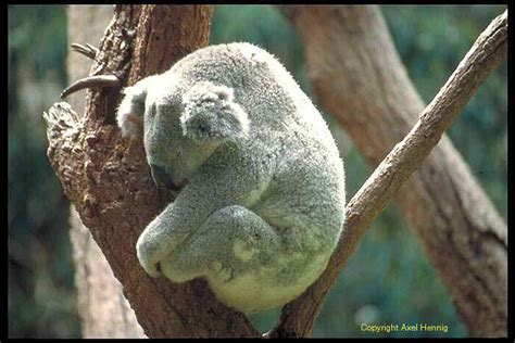 koala schlaf www australienbilder de australiens tierwelt