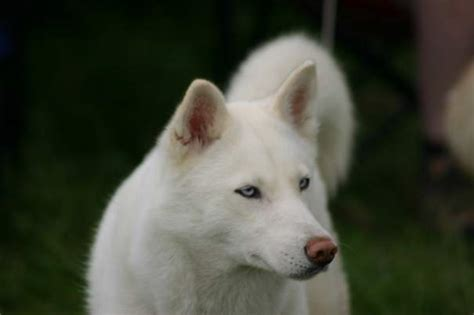 dogs similar to husky top 5 most beautiful white breeds breed and top pics