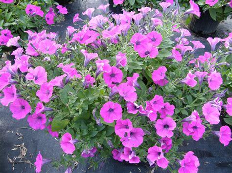 petunia colors petunias for color lsu agcenter