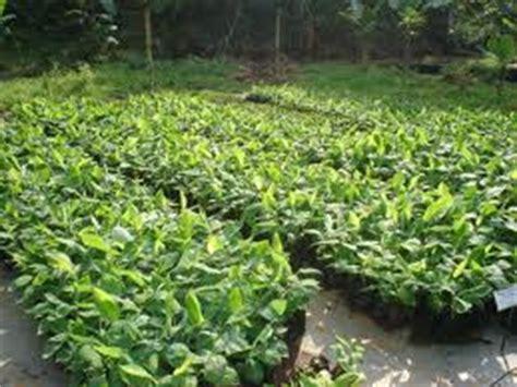 tanaman hortikultura biologipedia