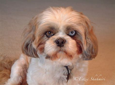 shih tzu eye color 17 best images about eye on september 2014 different colored and