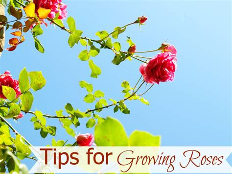 tips for growing successful roses watering feeding pruning