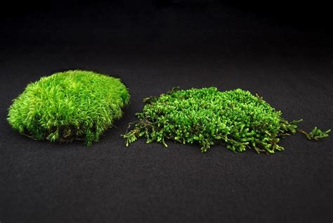 knowing your acrocarp from your pleurocarp moss and stone gardens