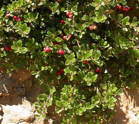 imagenes de uva ursi arctostaphylos uva ursi gayuba gorrincha otso mats