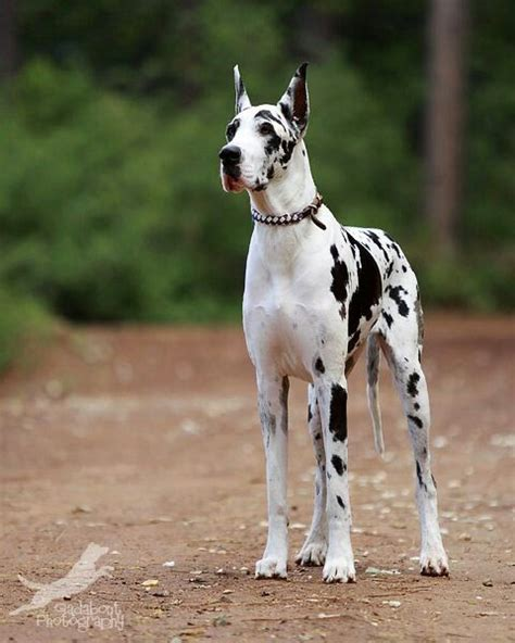 25 best ideas about harlequin great danes on