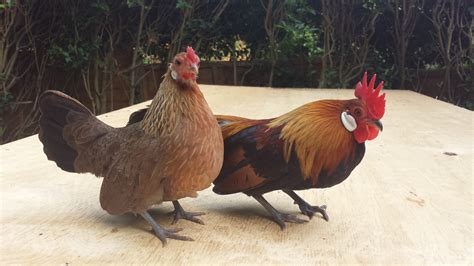 Bantam Chicken Breeds List With Pictures