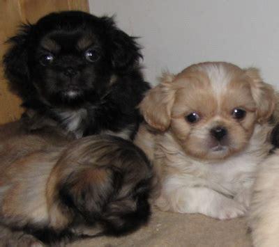 shih tzu pekingese poodle mix may the shinese pekingese shih tzu mix as a breeds picture