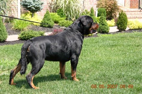 largest rottweiler breed largest rottweiler breeds picture