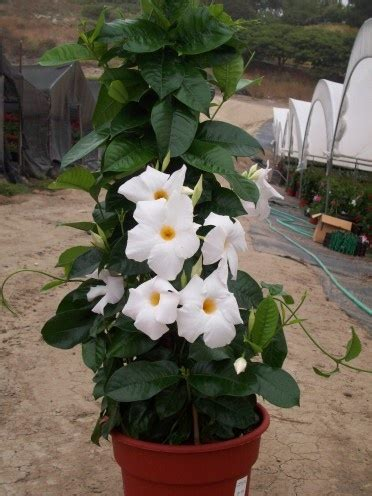 Tanaman Thunbergia Biru Blue Clock Vine 62 best tanaman merambat images on garden