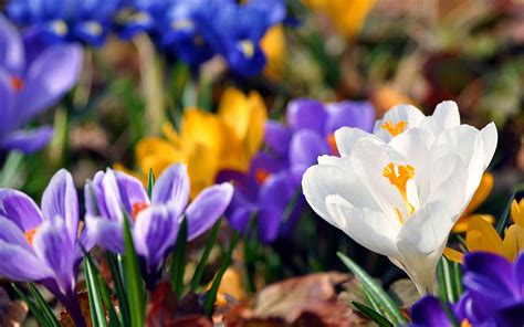 wallpapers white crocus wallpapers