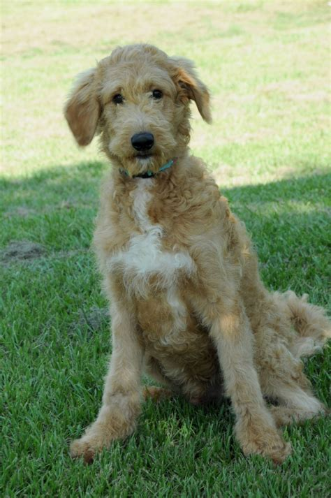 english goldendoodle f2 english goldendoodles teddybear goldendoodles