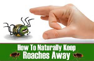 How To Get Rid Of Roaches In Cabinets Cockroach Repellents Wellmindness