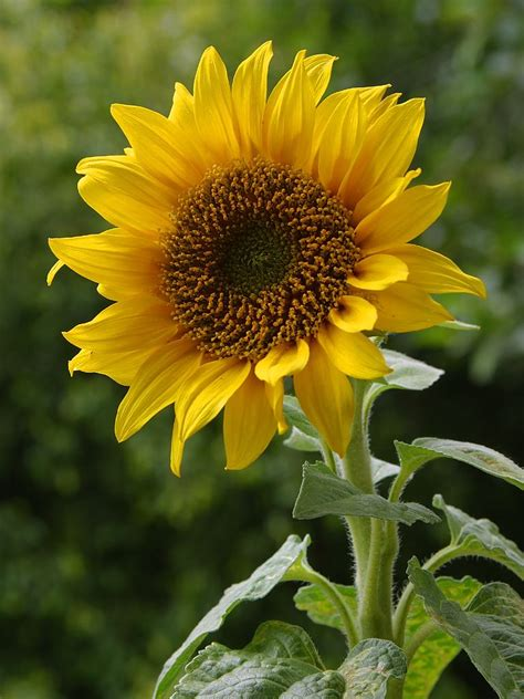 elementary artist vincent van gogh s sunflowers