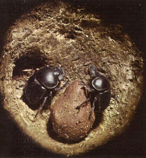 insetto nero volante invertebrati