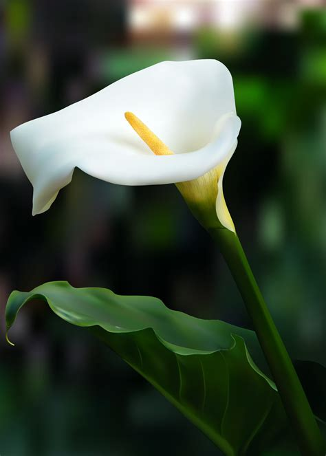calla lily flowers full hd pictures