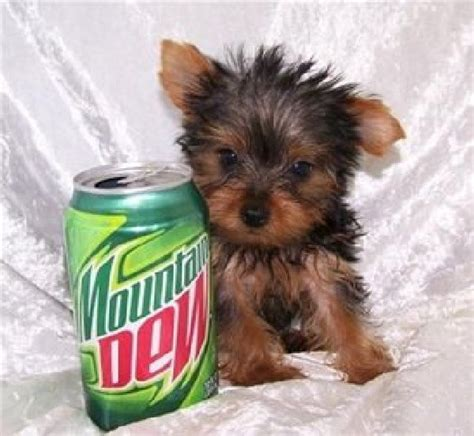 tracup yorkie teacup yorkies car interior design