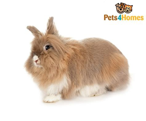 Lionhead Rabbit Breed Information, Facts, Photos, Care