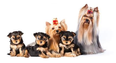 how many puppies can a yorkie how many puppies can a terrier