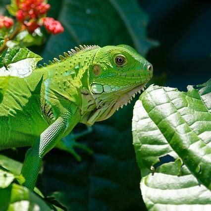 alimentazione iguana l alimentazione dell iguana verde