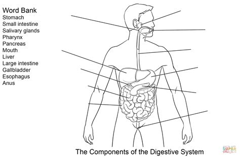 anatomy coloring book digestive system components of digestive system worksheet coloring page