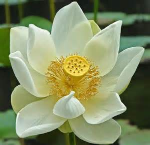 Special Features Of Lotus Flower The Exquisite Lotus Flower Womans Vibe