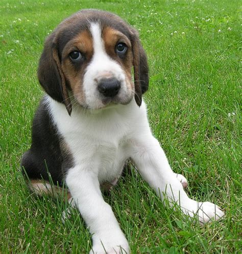 coonhound puppies coonhound puppy photo png