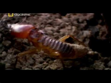 matabele ants  termite soldiers youtube