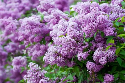 Grow These 10 Fragrant Flowers For A Heavenly Smelling Fragrant Flowers For Garden