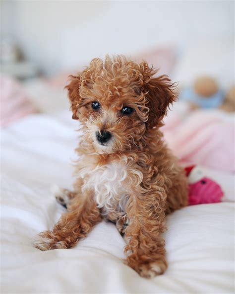 yorkie doodle puppies southern curls pearls friday favorites new puppy
