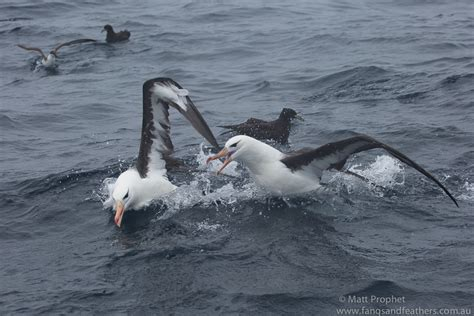 fangs and feathers pelagic birding off cape of good hope