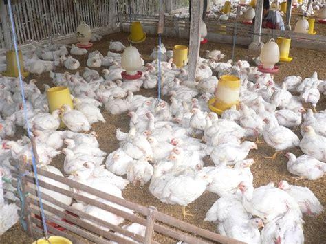 Bibit Ayam Broiler Pedaging cara ternak ayam potong untuk pemula yang perlu di pahami