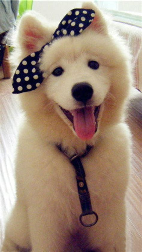 puppy with bow white with black bow wallpaper free iphone wallpapers