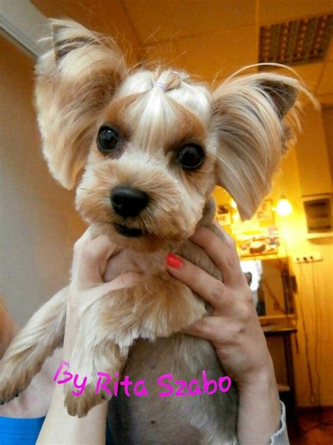 korean yorkie haircuts asian fusion yorkie cut 482 best images about dog grooming