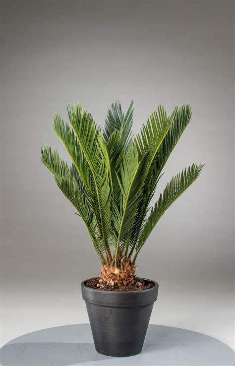 cycas revoluta kaufen palmfarn cycas revoluta g 252 nstig kaufen