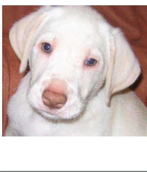weimaraner lab mix puppies pin weimaraner lab mix puppies on