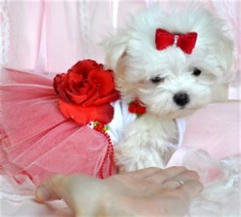 puppies for sale tallahassee fl teacup puppies for sale florida puppies for sale ta puppies for sale orlando