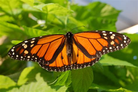 monarch butterfly file monarch butterfly showy male 3000px jpg wikipedia