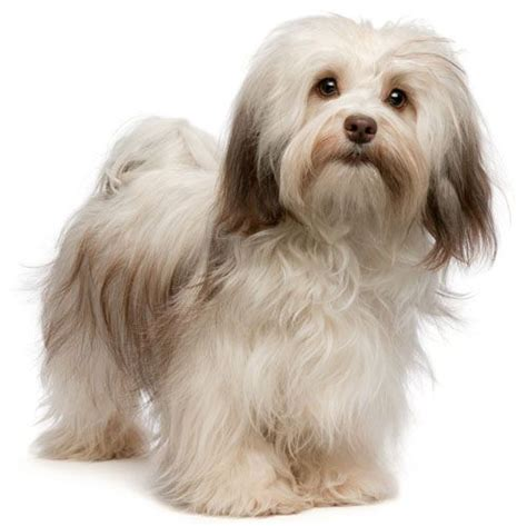 traits of havanese dogs havanese characteristics breeds and its characteristics