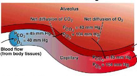 pressure in alveoli gas exchange bing images gas exchange in alveoli the respiratory system and its