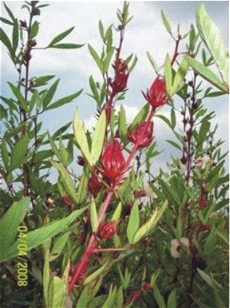 Teh Rosella rosela info mengenal tanaman rosela